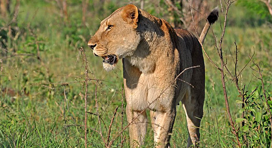 Lioness Sighting Hluhluwe iMfolozi Self-Catering Accommodation