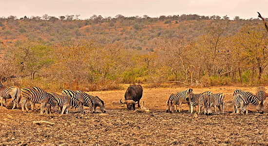 Waterhole Zebra Buffalo Sighting Hluhluwe iMfolozi Game Reserve
