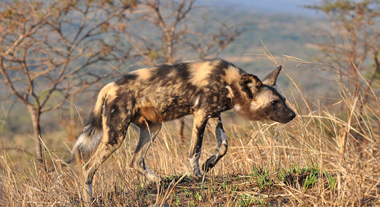 Wild Dog sighthing Hluhluwe iMfolozi Game Reserve