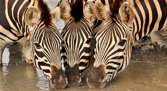 Zebras Waterhole Hluhluwe iMfolozi Self-Catering Accommodation